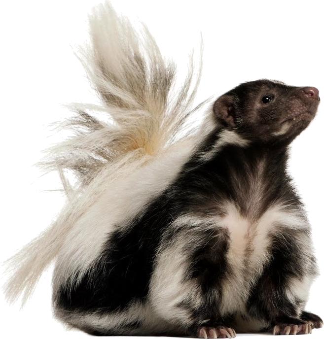 Skunk PNG - 17740