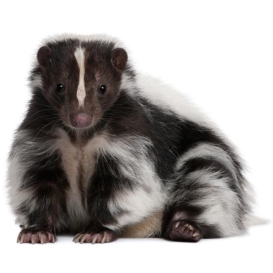 Skunk PNG - 17751