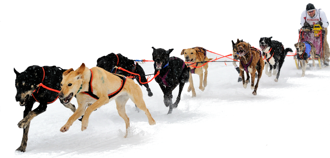 Free Running Sled Dogs