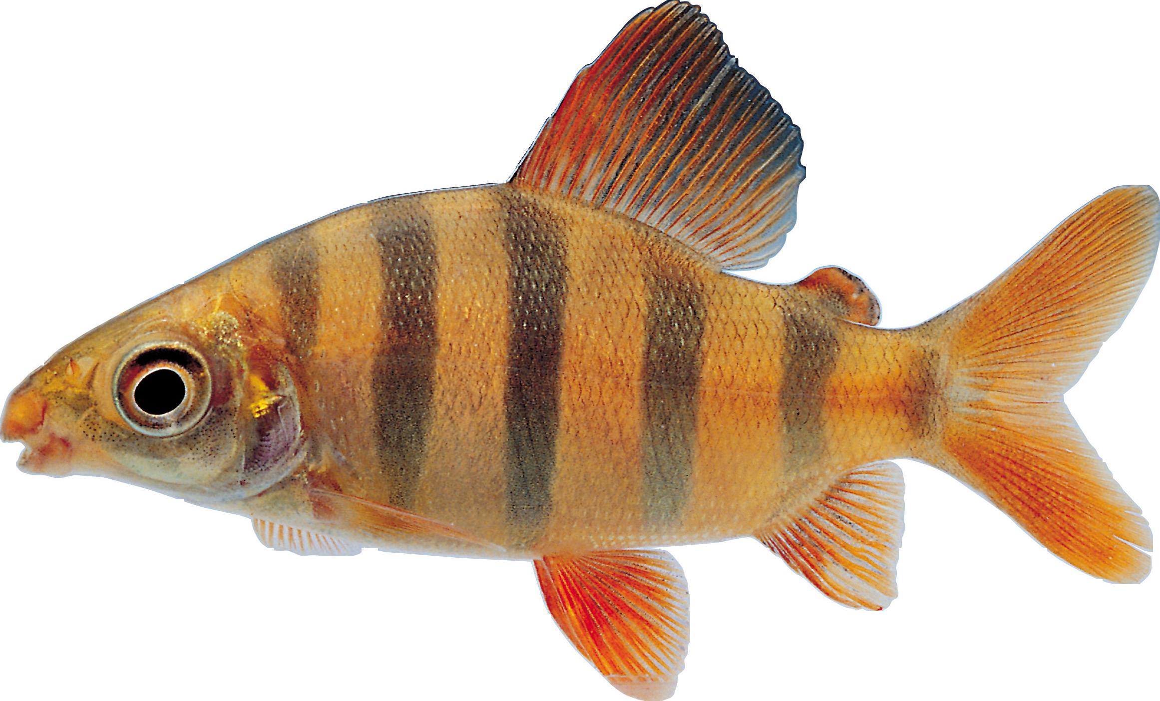 Small Fish PNG HD - 146662