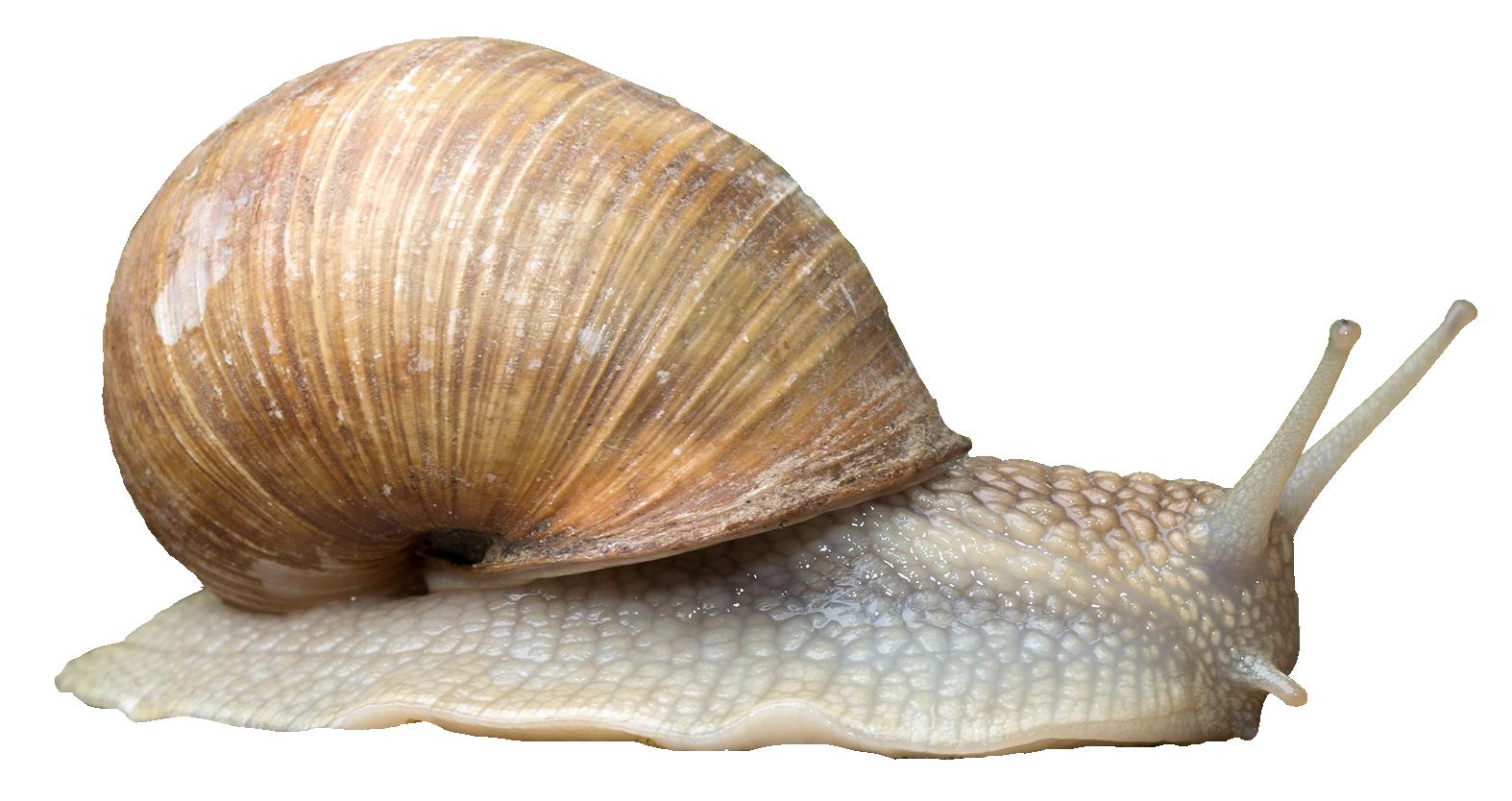 Snail HD PNG-PlusPNG.com-1574 - Snail HD PNG