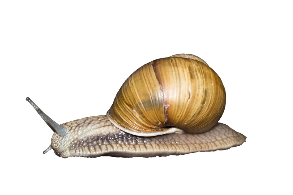 Animal, Reptile, Creature, Shell, Snail, Wirbellos - Snail HD PNG