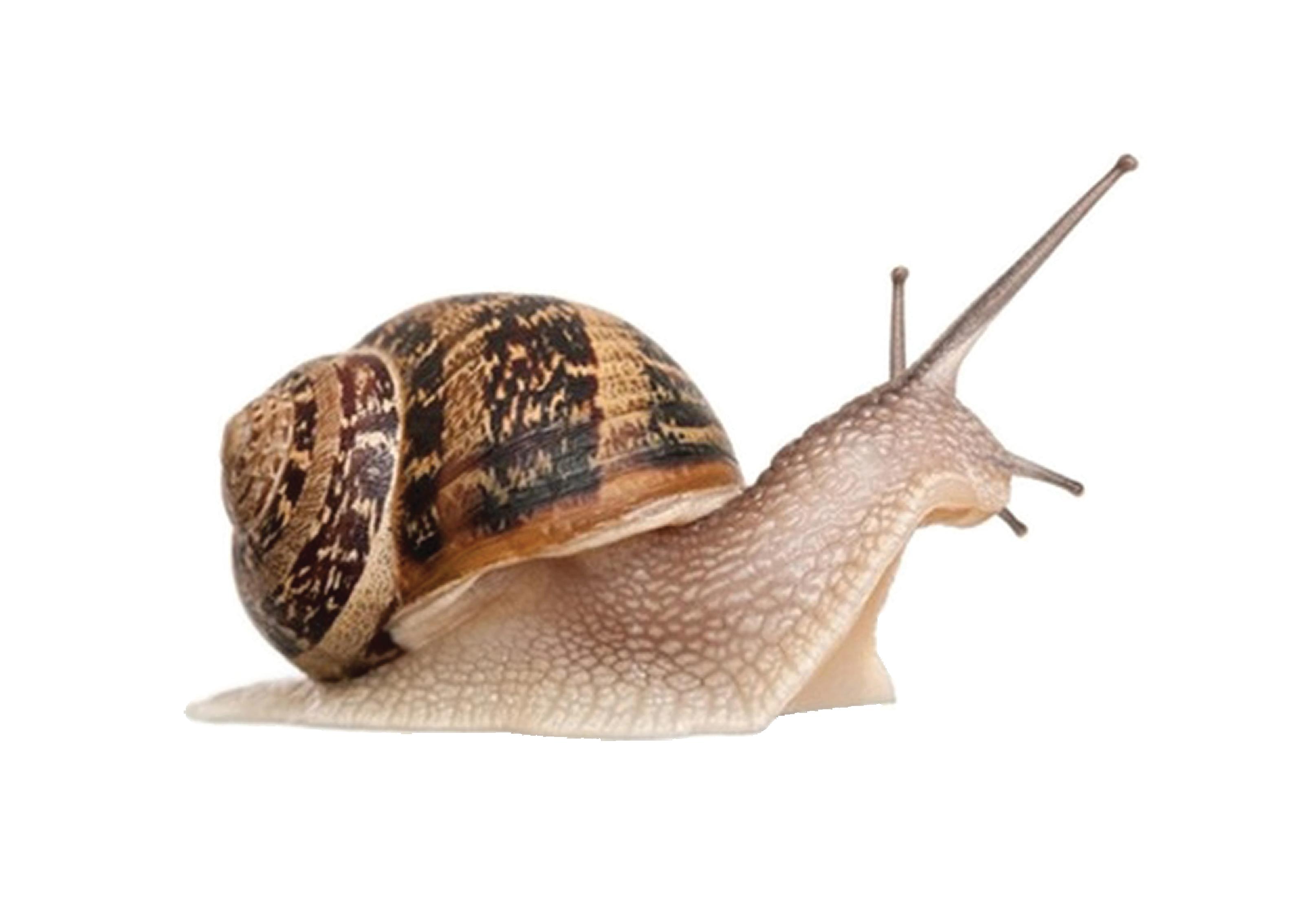 Snail HD PNG