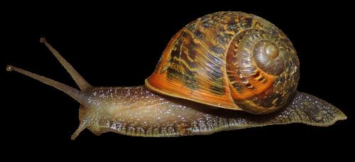 Snail PNG Image - Snail HD PNG
