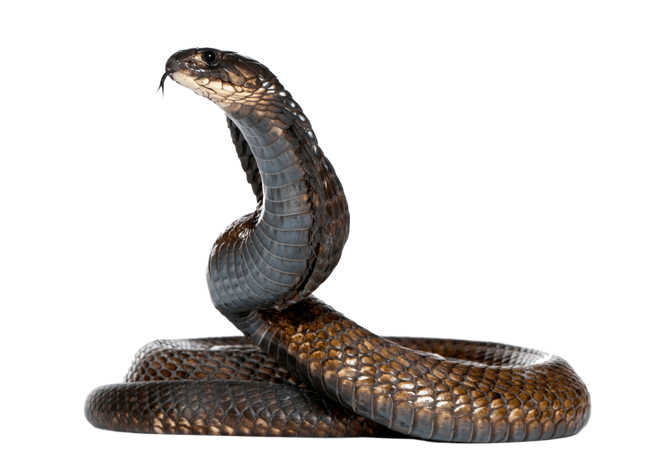 Snake HD PNG - 92990