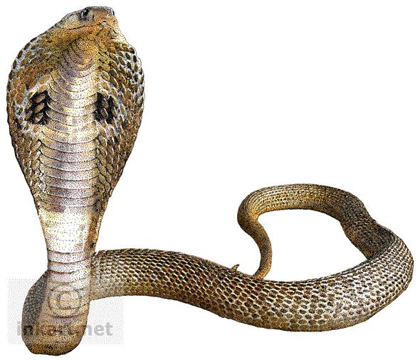 Cobra Snake Transparent Background - Snake HD PNG