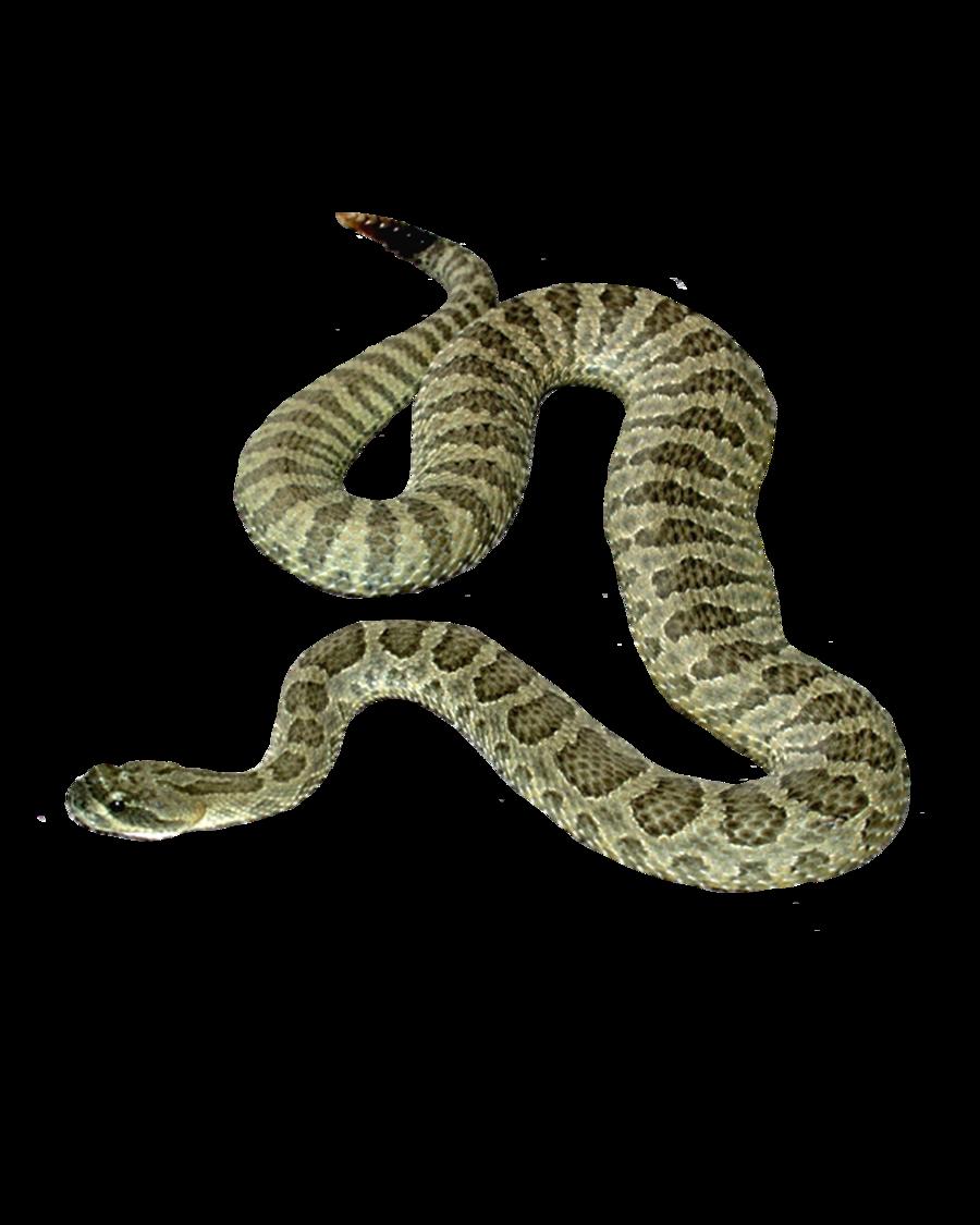 Snake PNG - 1069