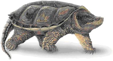 Snapping Turtle PNG-PlusPNG.com-394 - Snapping Turtle PNG