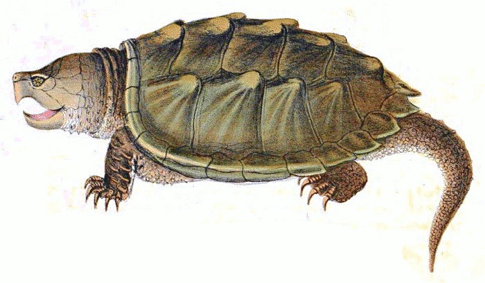 Alligator Snapping turtle 2 - Snapping Turtle PNG