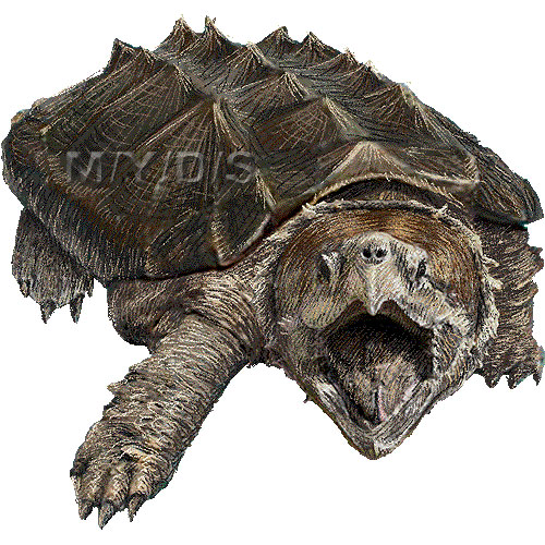 Alligator Snapping Turtle clipart picture / Large - Snapping Turtle PNG