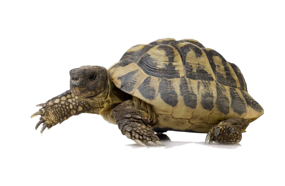 Box Turtle PNG Pic - Snapping Turtle PNG
