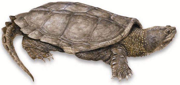 Common Snapping Turtle: - Snapping Turtle PNG