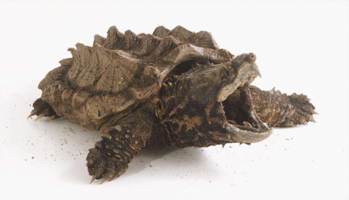Filename: alligator_snapping_turtle-14D055818D309767025.png - Snapping Turtle PNG