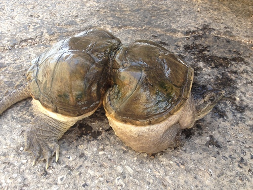 Mae West today, in Los Angeles. (Photo Credit: 5 Gyres) - Snapping Turtle PNG