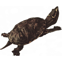 Snapping Turtle Png Picture PNG Image - Snapping Turtle PNG