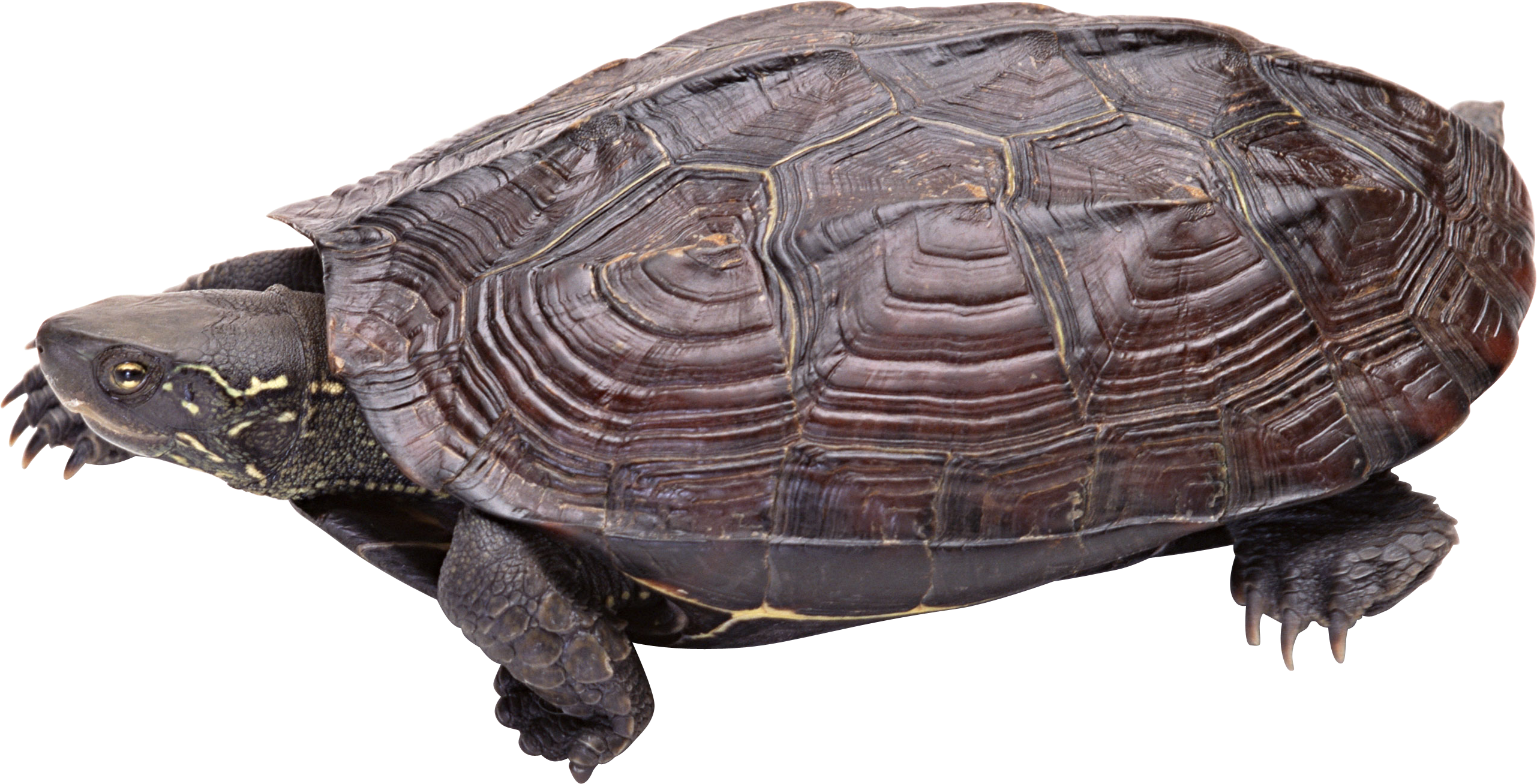 Turtle PNG - Snapping Turtle PNG