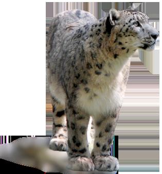 About Snow Leopard - Snow Leopard PNG