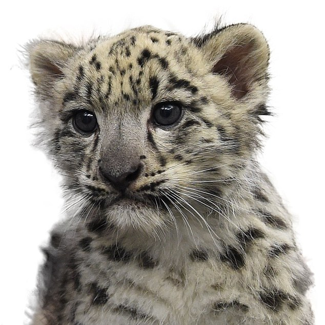 Asa is now the sixth snow leopard to be born at the Rosamond Gifford Zoo, - Snow Leopard PNG