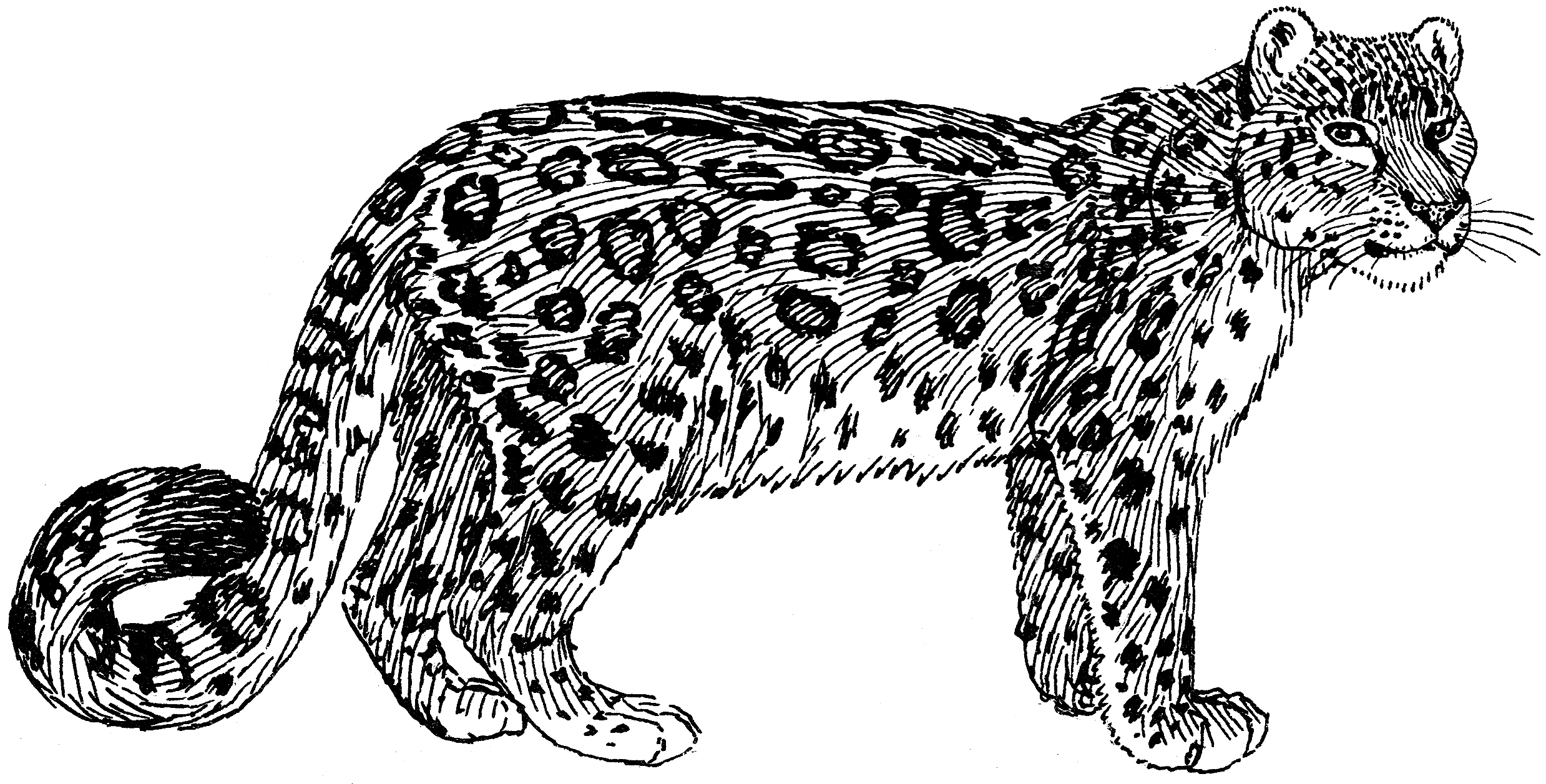 File:Snow Leopard (PSF).png - Snow Leopard PNG