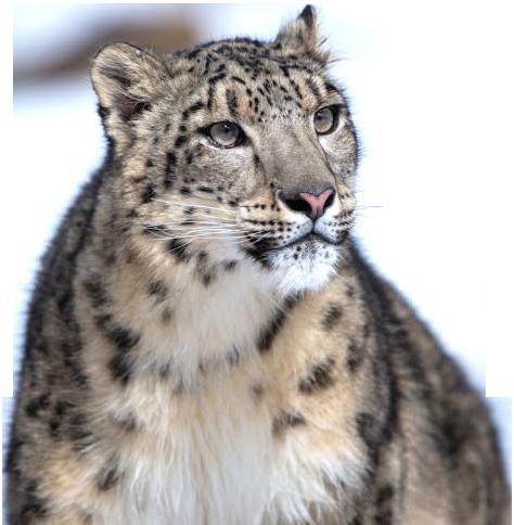 Leopard Snow PNG 206x210 - Leopard PNG Transparent Free Images - Snow Leopard PNG