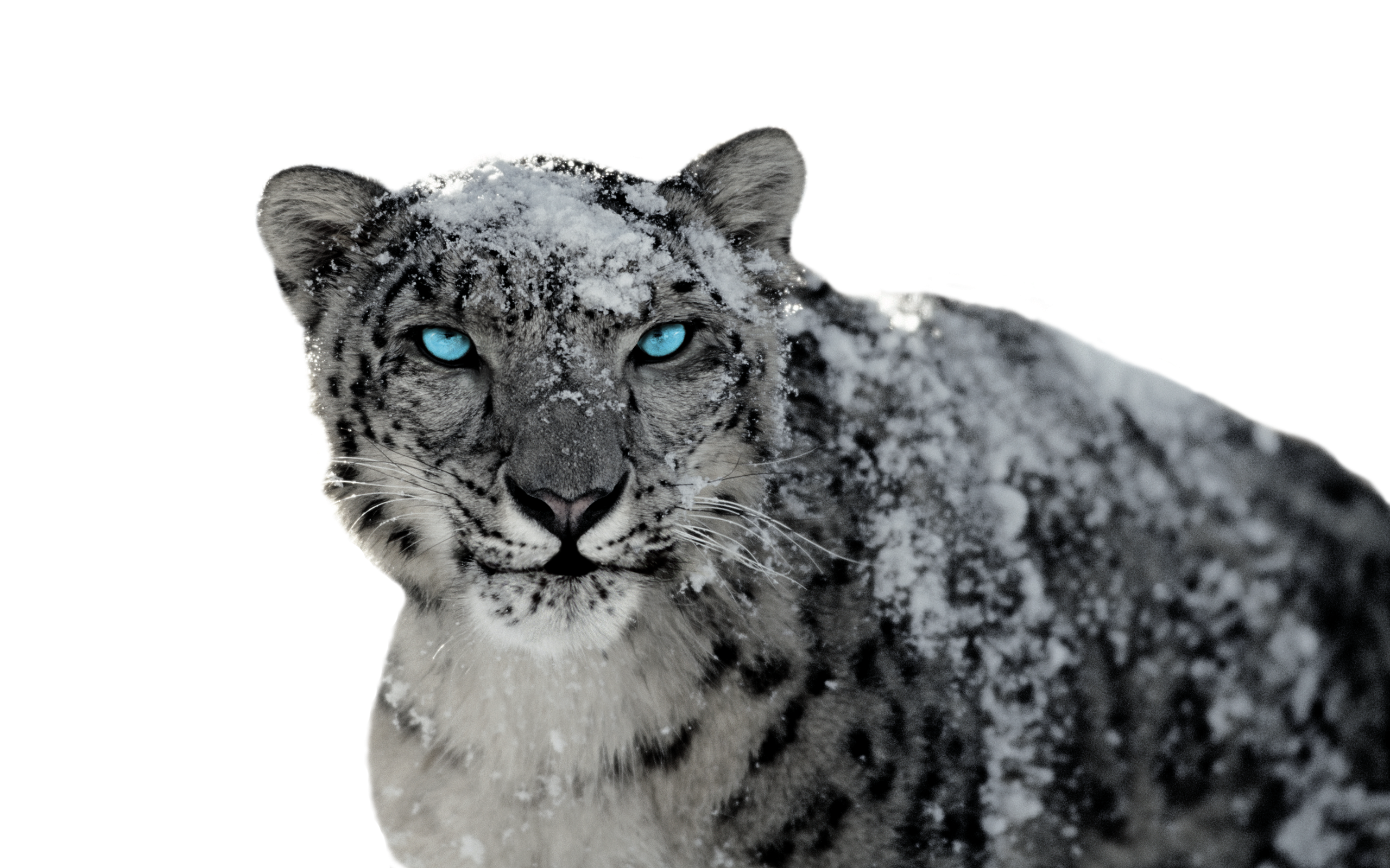 Snow Leopard 2 by BumbleBritches57 Snow Leopard 2 by BumbleBritches57 - Snow Leopard PNG