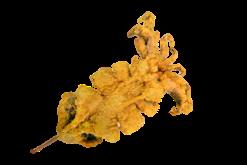 King Squid. Sotong Gunting Jumbo - Sotong PNG