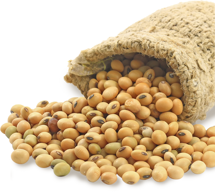 Soybean 4 - Soybean Seed PNG