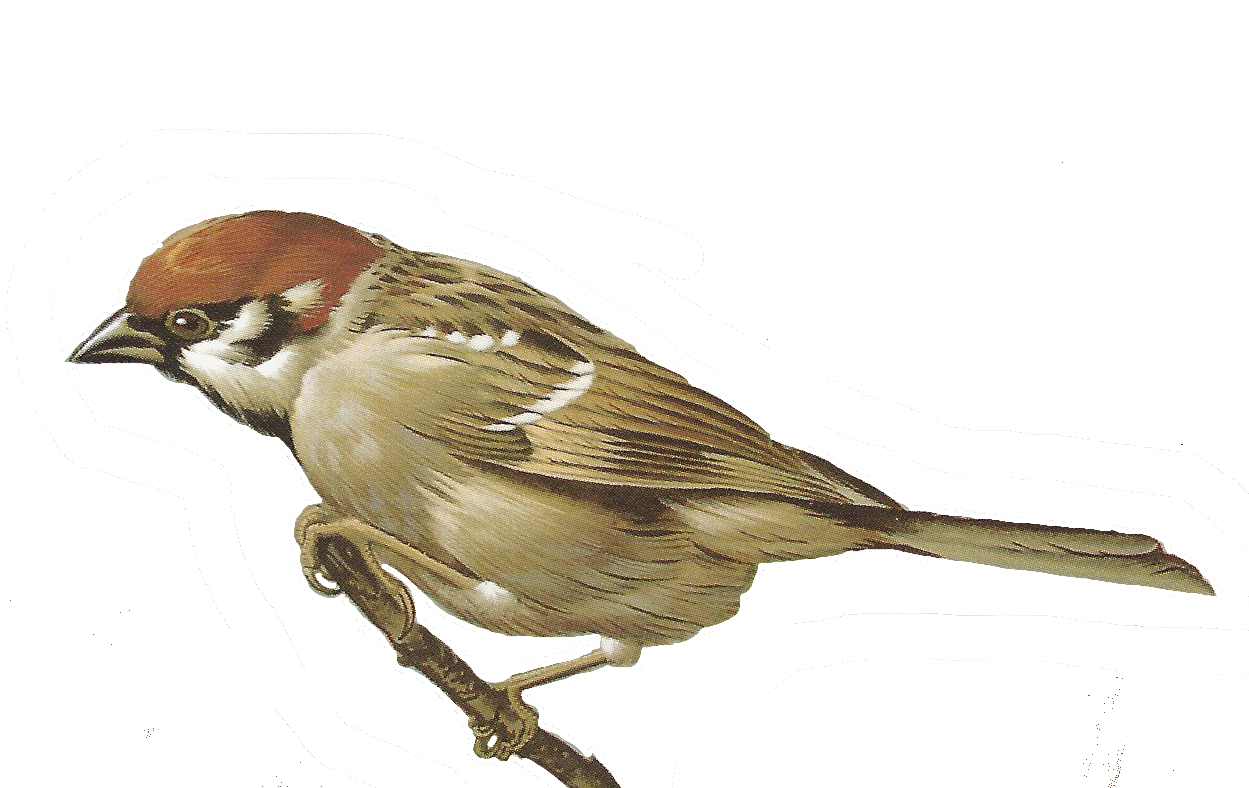 Sparrow PNG - 2968