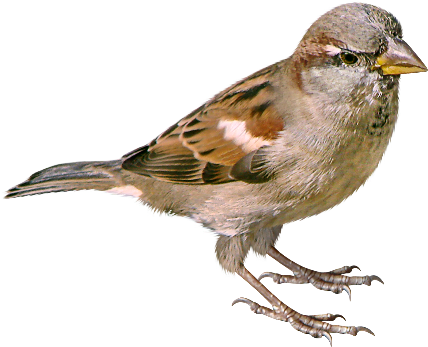 Sparrow PNG - 2969