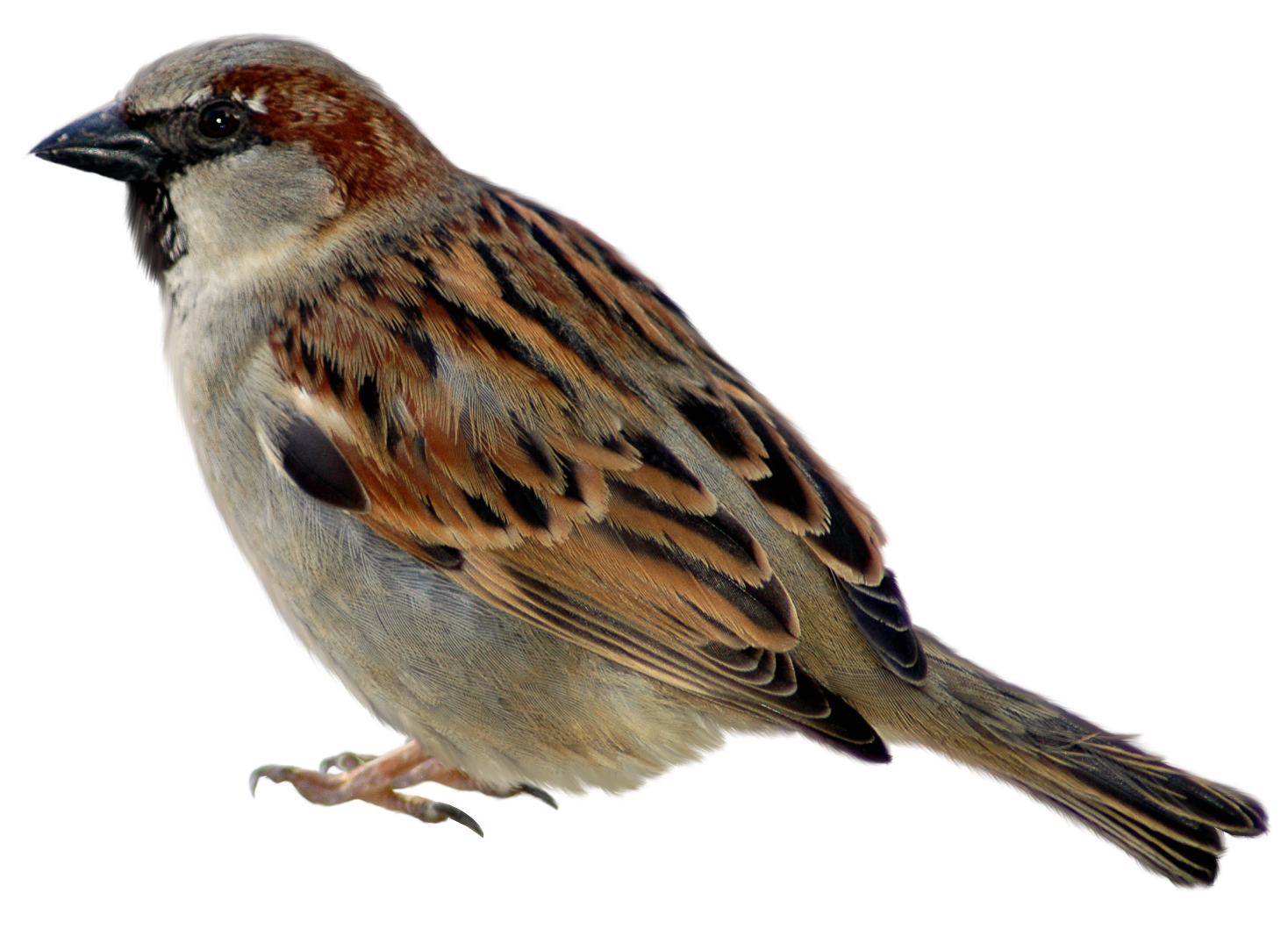 Sparrow PNG - 2966