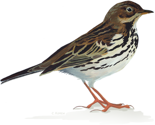 Sparrow PNG - 2979