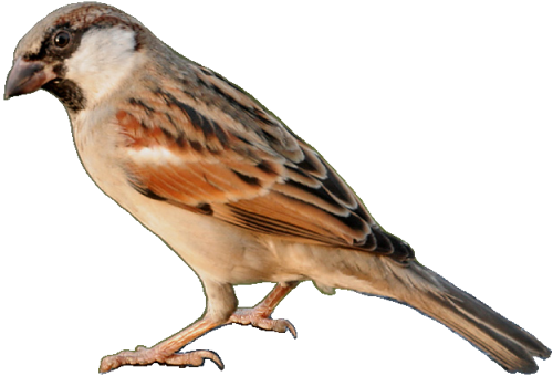 Sparrow PNG - 2974