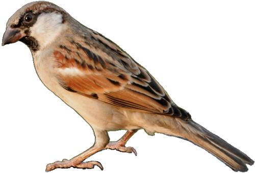 Sparrow PNG - Sparrow PNG