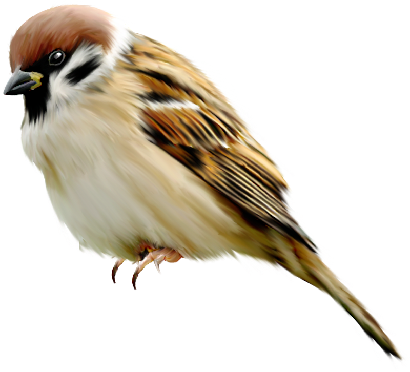 Sparrow PNG - 2976