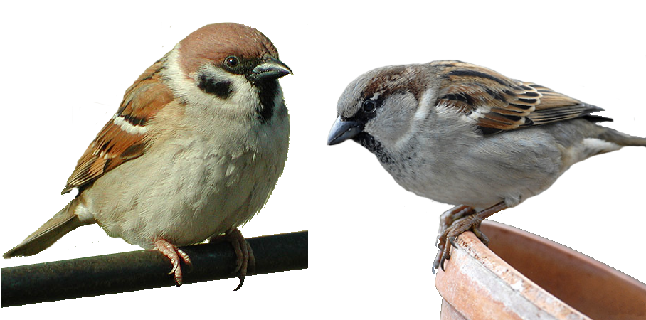 Sparrow PNG - 2977