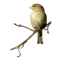 Sparrow PNG - 2970
