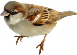 Sparrow PNG - 2984