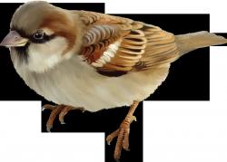 Sparrow · Squirrel PNG - Sparrow PNG