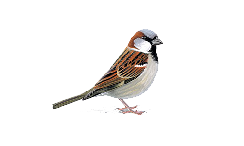 Sparrow PNG - 2980