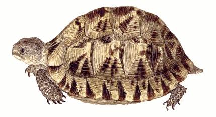 Tortoise PNG - 7223