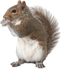 Squirrel - Squirrel HD PNG