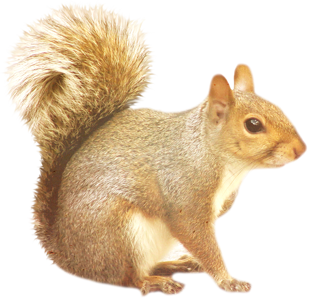 Squirrel PNG - Squirrel HD PNG