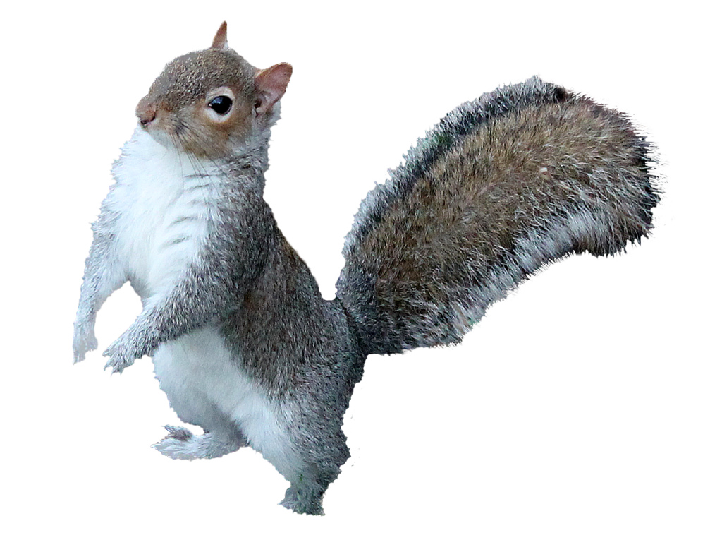 . PlusPng.com squirrel png 2 | by monkeywing - Squirrel HD PNG