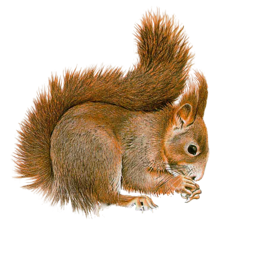 Squirrel PNG by LG-Design PlusPng.com  - Squirrel HD PNG