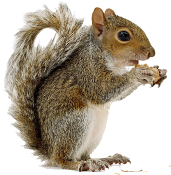 Squirrel PNG - Squirre PNG - Squirrel HD PNG
