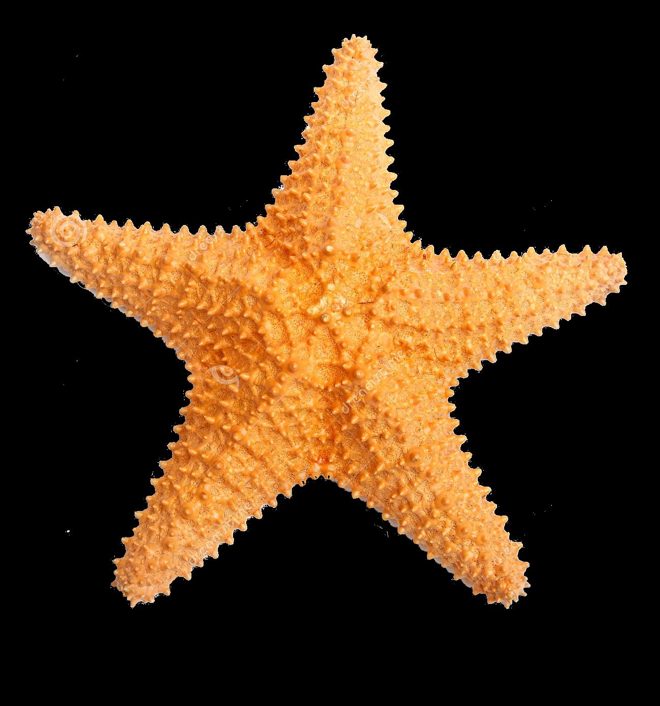 Starfish PNG-PlusPNG.com-1300