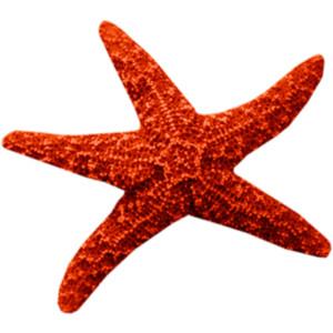 Starfish Png image #19855