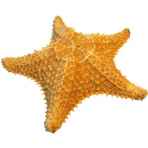 Starfish PNG - 15933
