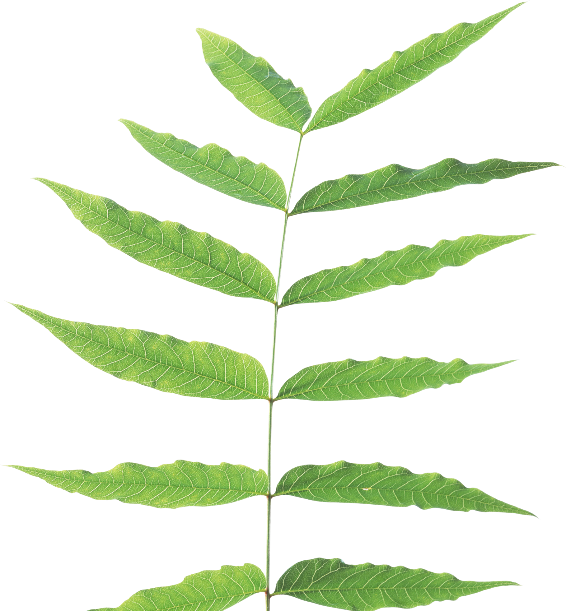 Green leaf PNG - Stem Of A Plant PNG