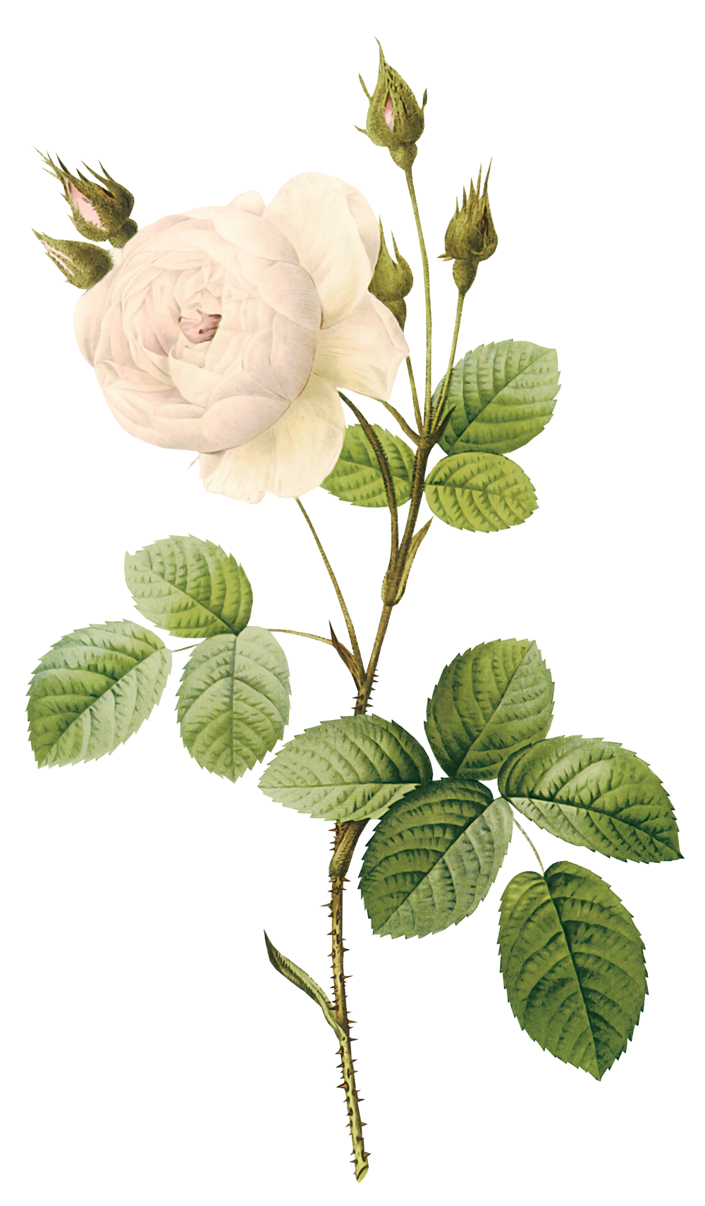 White rose PNG image, flower white rose PNG picture - Stem Of A Plant PNG